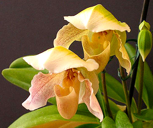 Paphiopedilum Millers Daughter