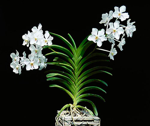 Grow And Care Vanda Orchid Plants